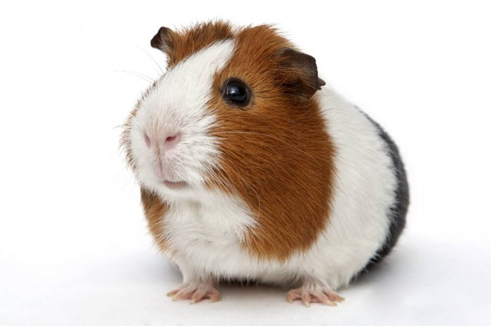 A guinea pig against a white background
